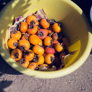 Kakis, fruits from the most common fruit tree in Japan. Eduardo's farm, Huaral, 2017. / Kakis, fruits de l'arbre fruitier le plus répandu au Japon. Ferme d'Eduardo, Huaral, 2017.