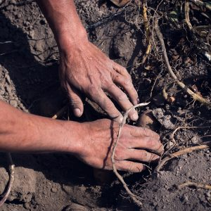 Eduardo's hands searching for sweet potatoes. Huaral, 2017. / Les mains d'Eduardo à la recherche de patates douces. Huaral, 2017.