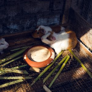 Cuys or guinea pigs in the Kobayashi family's garden. The guinea pig is a culinary speciality from the Peruvian Andes. Huaral, June 2017. / Cuys ou cochons d'Inde dans le jardin de la famille Kobayashi. Le cochon d'Inde est une spécialité gastronomique des Andes péruviennes. Huaral, juin 2017.